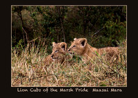 Lion cubs of the Marsh Pride