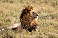 Morani, one of the head males of the Marsh Pride