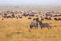 Wildebeest and Zebra on Topi Plains, Masai Mara