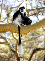 Colobus Monkey, Lake Bogoria area
