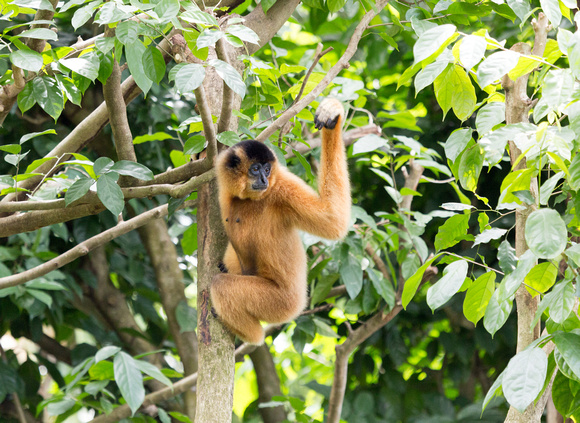 Yellow-faced Gibbon