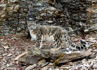 Adult Female Snow Leopard