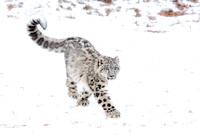 Female Snow Leopard Cub