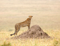 Cheetah - Kenya