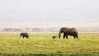 Elephants of Amboseli