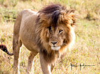 Scarface, one of the four large males of the Marsh Pride