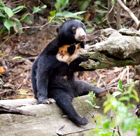 Sun Bear, smallest bear species in world