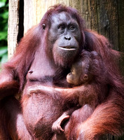 Orangutan mom and baby, Sepilok