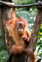 Baby Orang utan (the actual way they spell it)